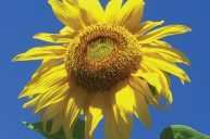 The Radiant Sunflower
