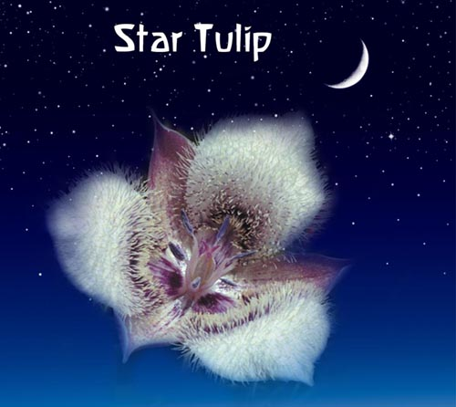Star Tulip: For Connection To The Inner Voice and Psyche