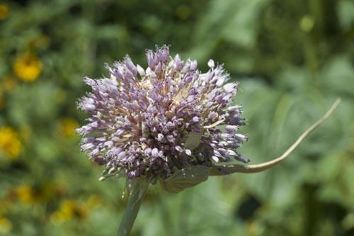 Garlic: strengthening against anxiety & fear