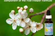 Cherry Plum: for Intense Fear of Losing Control