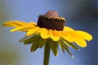 Black-Eyed-Susan: Integration of Perceived and Hidden Aspects of the Consciousness