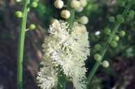 Black Cohosh: Useful for Abusive Relationships
