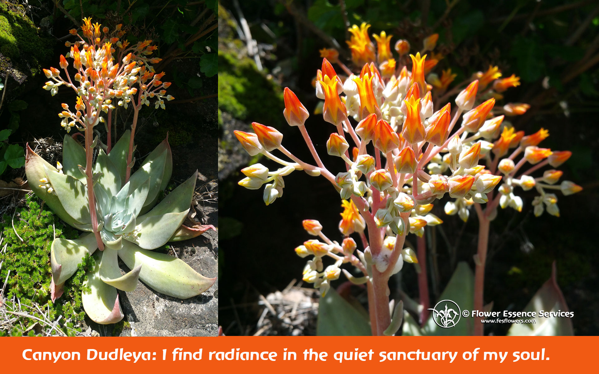 Canyon Dudleya for Balancing Fire and Water Elements: Finding Joy In Simplicity
