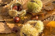 Sweet Chestnut: Nourishment for the Soul
