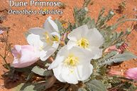 Dune Primrose Addresses Birth Trauma Related to Intense Social Circumstances