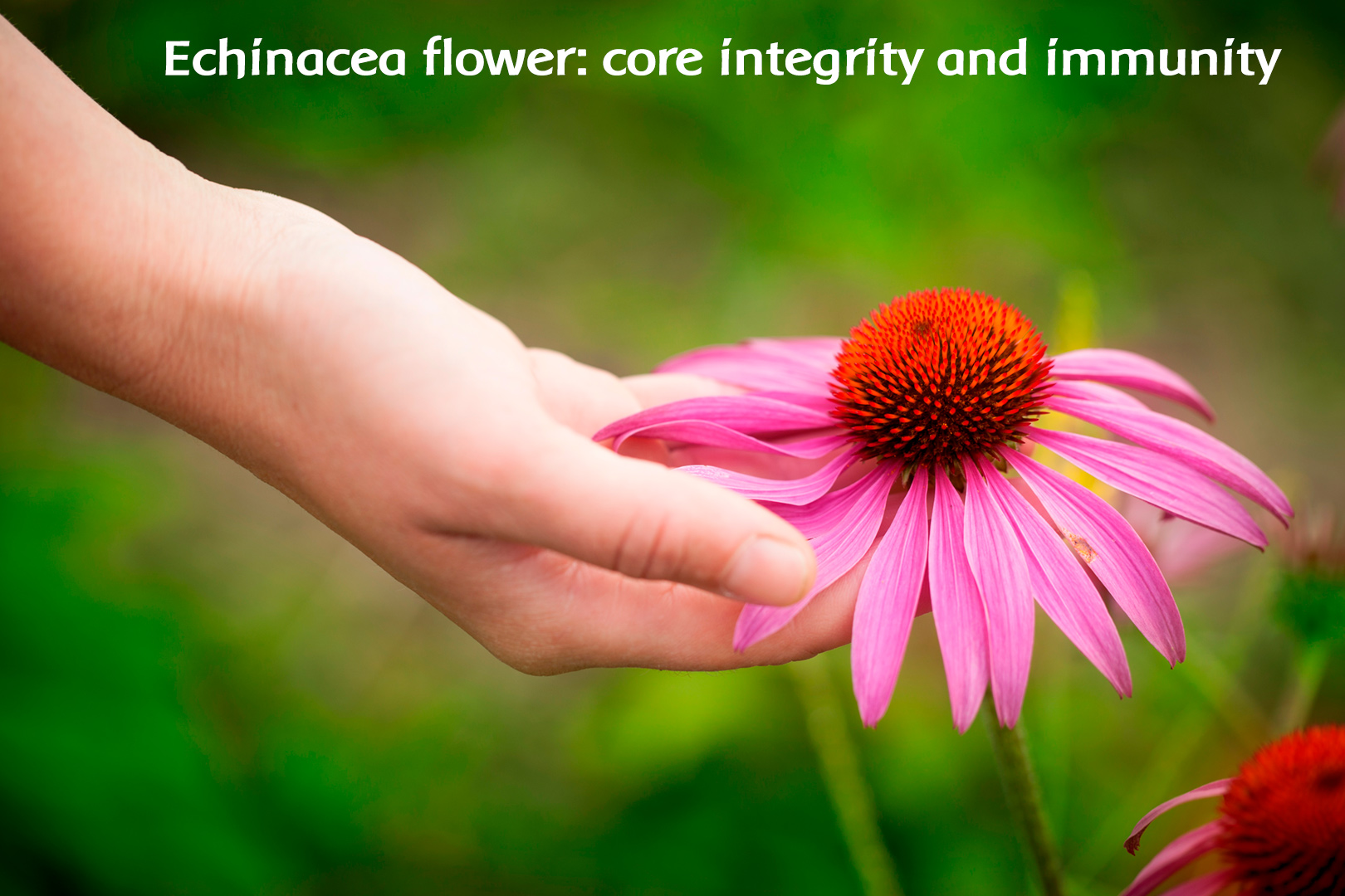 Echinacea Energetically Supports the Immune System