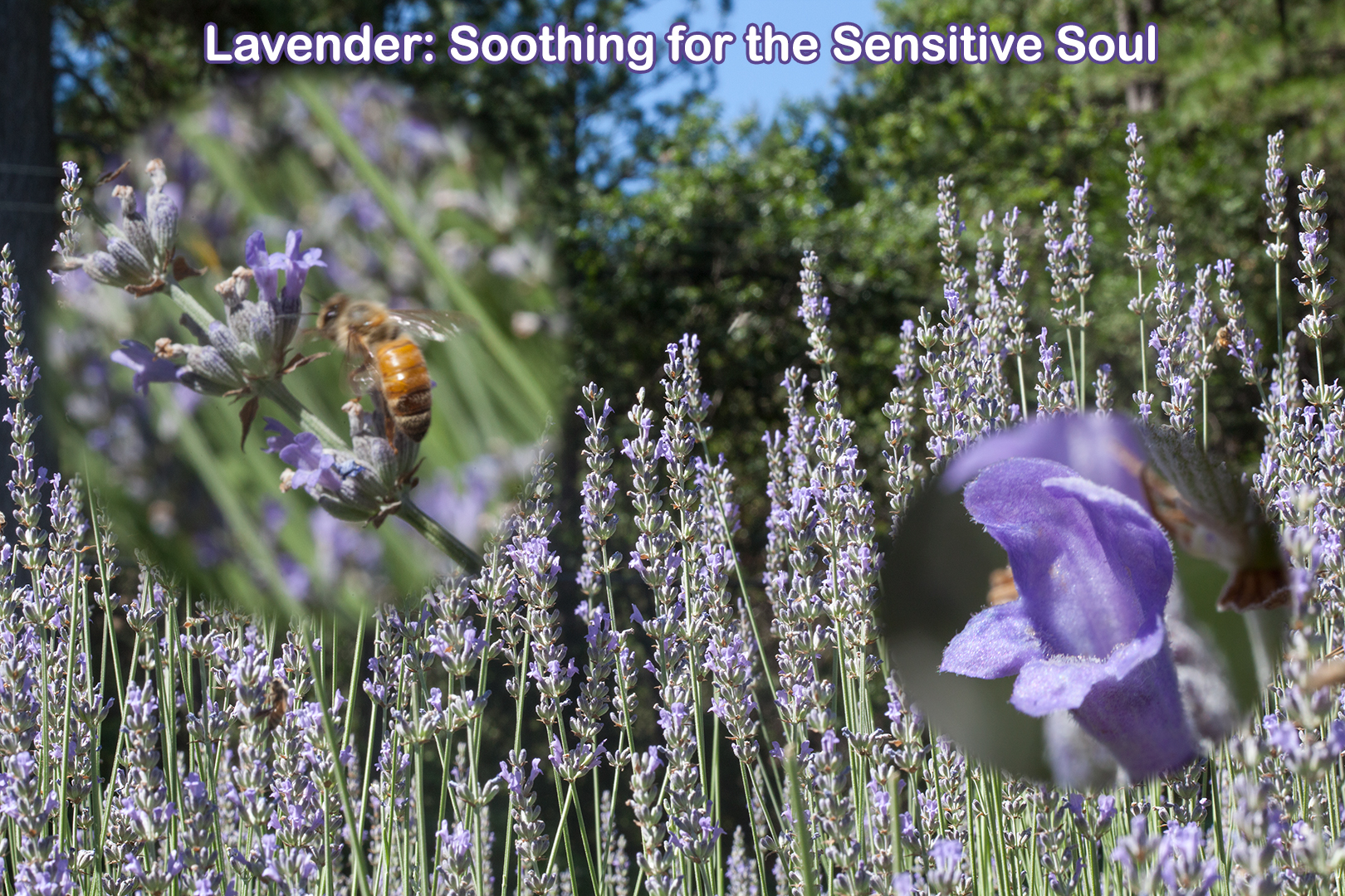 Lavender: a calming and soothing energy for the sensitive soul