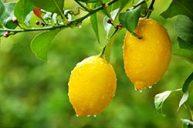 Lemon for Wakefulness & Sharp Mental Clarity