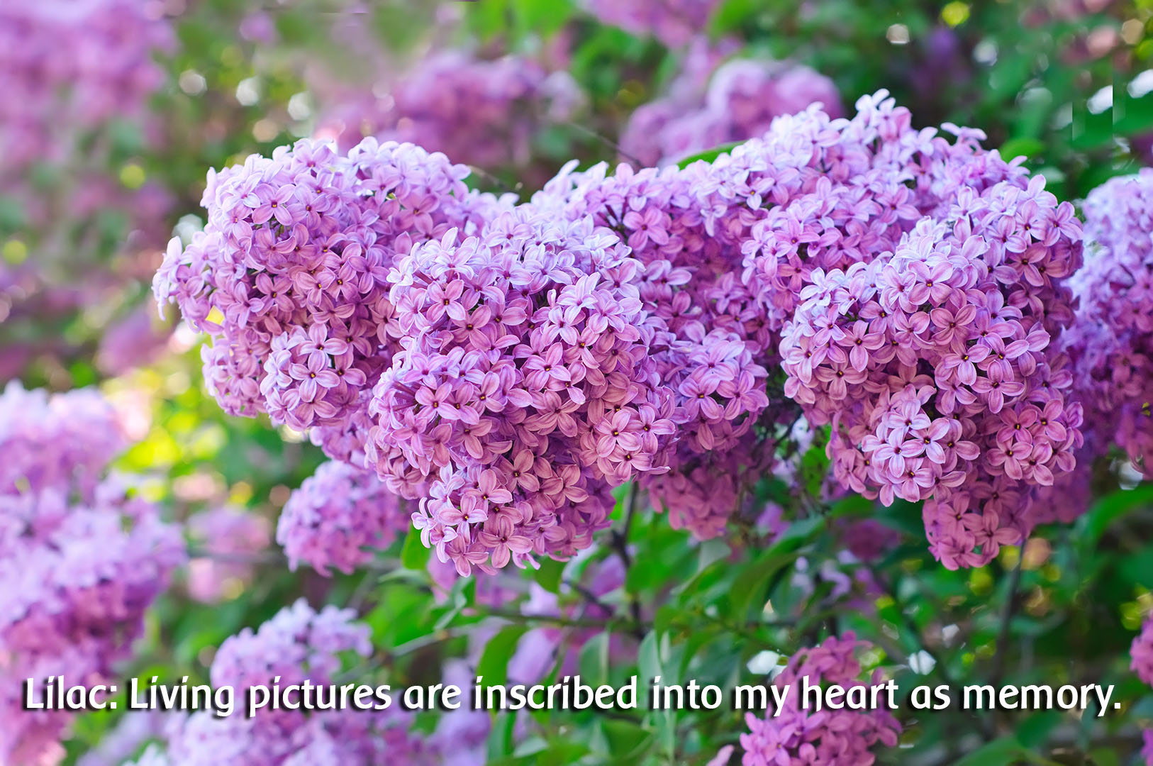 Lilac: Cultivating Positive Memories