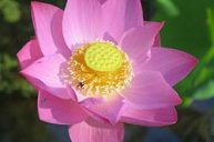 Use Lotus as a Meditation Aid and for Spiritual Opening