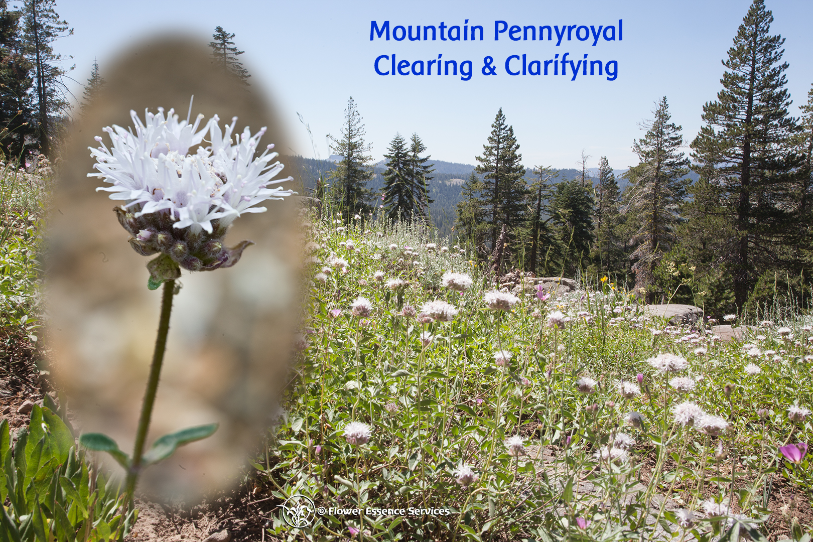 Mountain Pennyroyal for attunement with the many seen & unseen forces around us