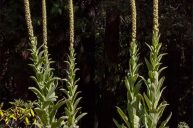 Mullein: Standing Tall with the Light of Conscience
