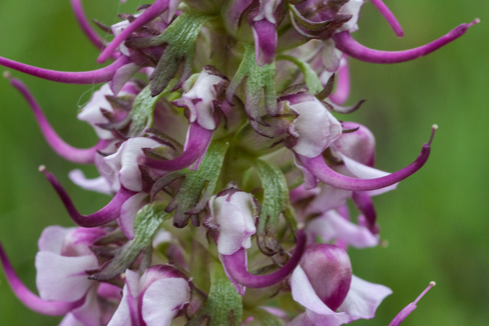 Pedicularis: Delving into patterns of the past