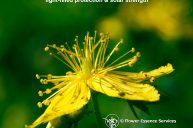 St. John's Wort – A Protective Shield