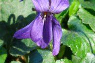 Violet Flower Essence for Sensitive & Highly Perceptive People