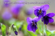 Violet: Overcoming Shyness While Maintaining Core Authenticity