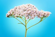 Yarrow for Protection: Maintaining the Integrity of Our Healthy Boundaries