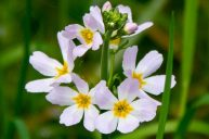 Water Violet: for Those Who Have a Refined, Delicately Sensitive Soul Disposition