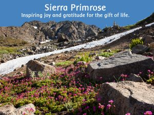 Sierra Primrose: Inspiring joy and gratitude for the gift of life