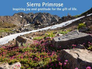 Sierra Primrose plants in the Sierra Nevada