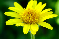 Arnica: Spirit-Sun Renews the Flow of Life