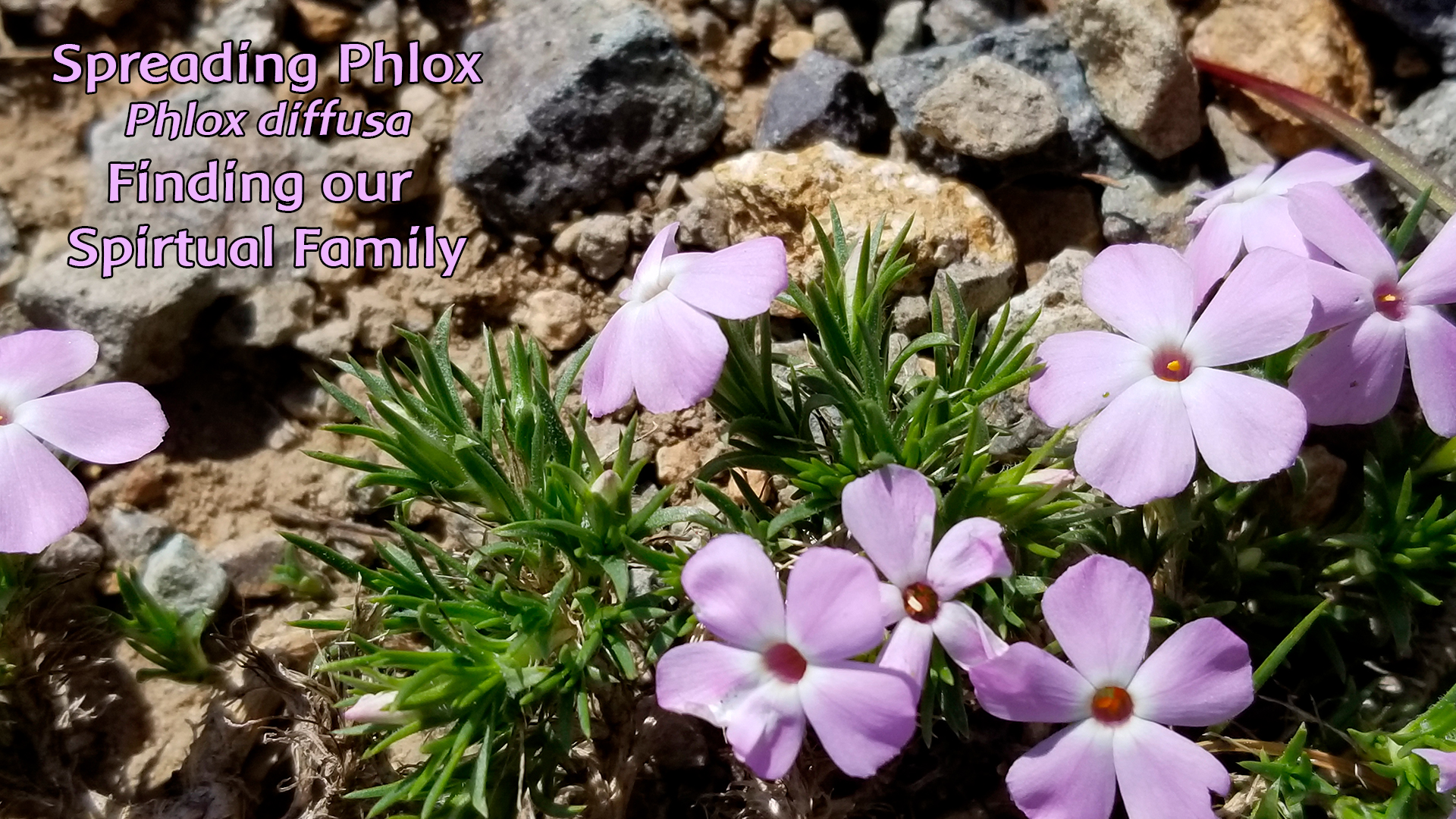 Spreading Phlox: Finding Our Spiritual Family