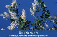 Deerbrush: Gentle purity and clarity of purpose