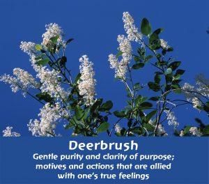 Deerbrush: Gentle purity and clarity of purpose