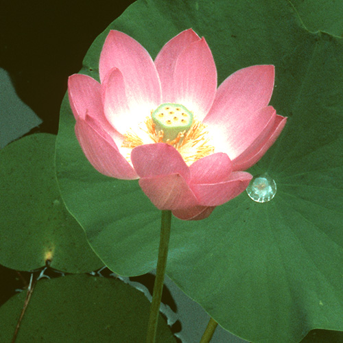 Lotus Flower Essence Services
